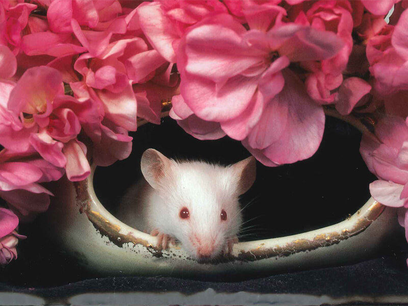 Cute Rat with Pink Flowers