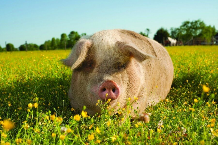 Happy Pig In Field