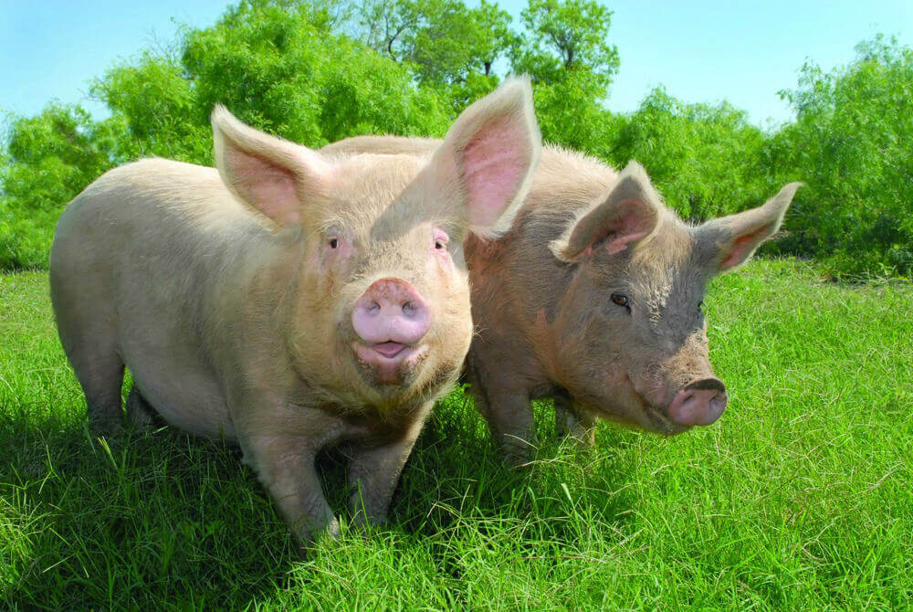 Two Happy Pigs Outside