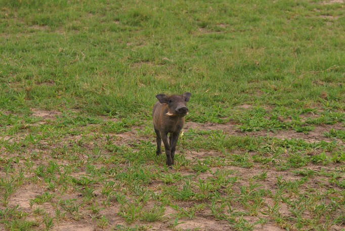 BabyWarthog2