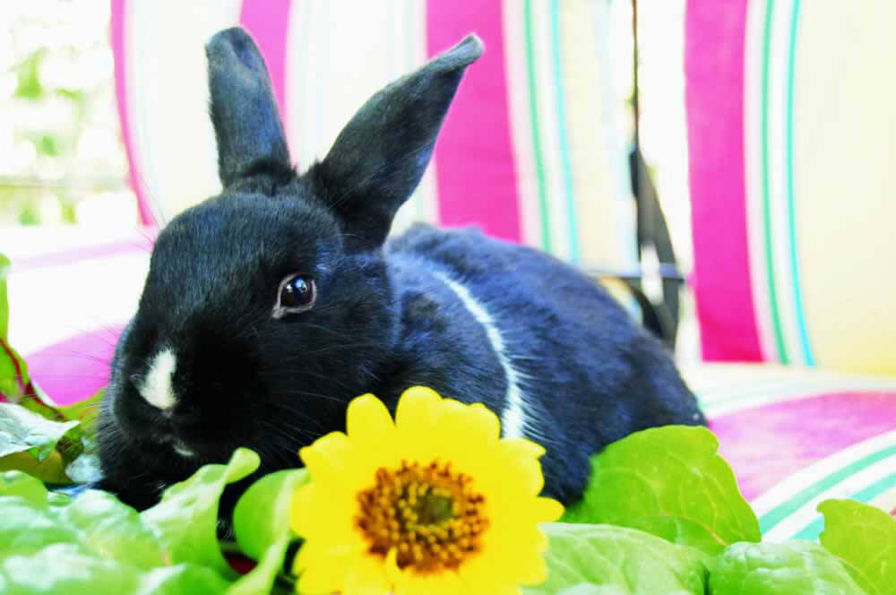 Bunny Rabbit with Sunflower