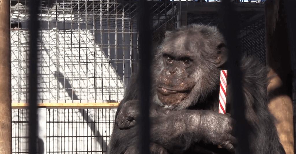 Chimpanzee at GW Zoo