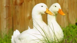 Ducks and Geese Used for Food