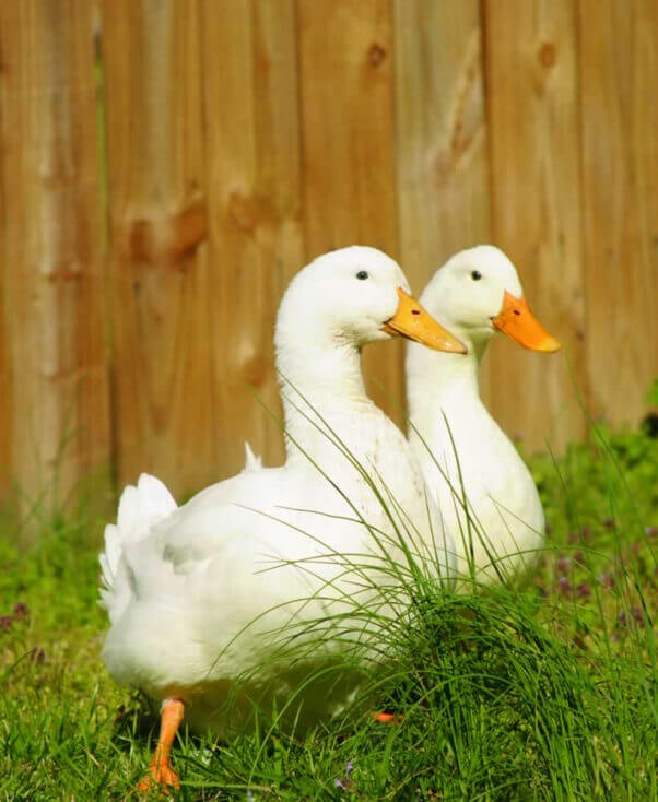 Ing A Duck Or Duckling Could Mean