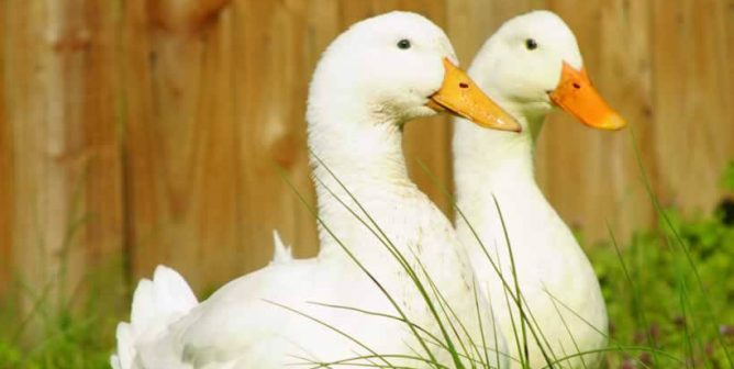 PETA and Postmates Team Up to Save Ducks, Do Right by Animals