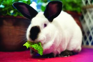 Eddie the Rabbit Eating