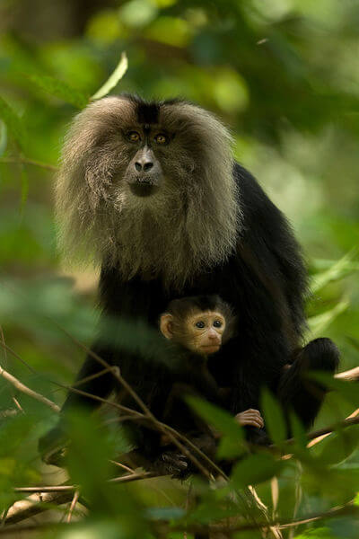 Lion-tailed_macaque_with_baby