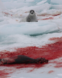 Dead Seal on Ice