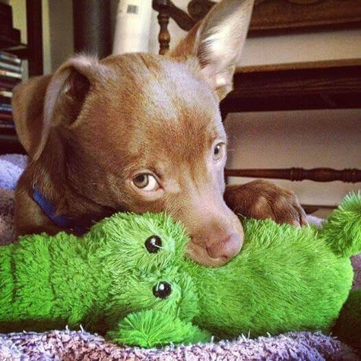 Simon the chihuahua dog