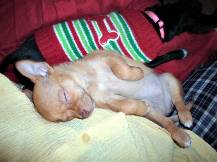 Sophia the Chihuahua Dog