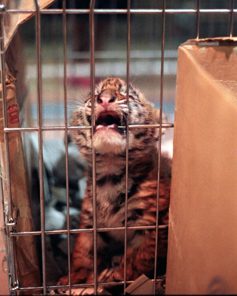 baby tiger biting metal bars of cage