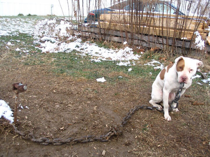 pit bull with thick chain around his neck - snow on the ground