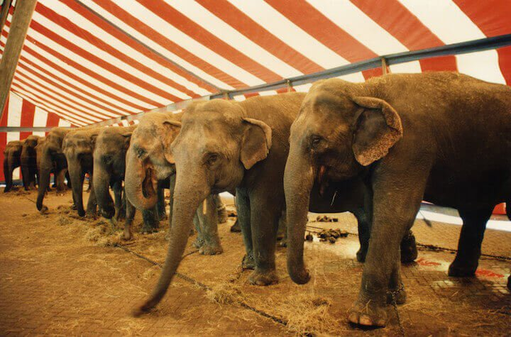 Row of chained elephants inside circus tent