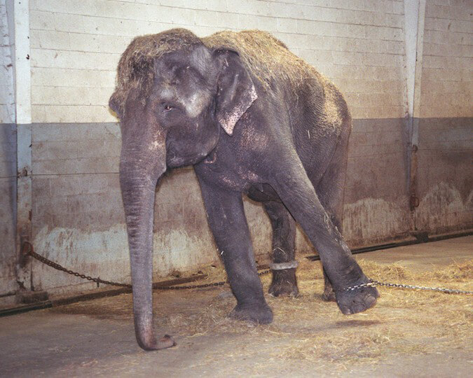 Sad chained elephant
