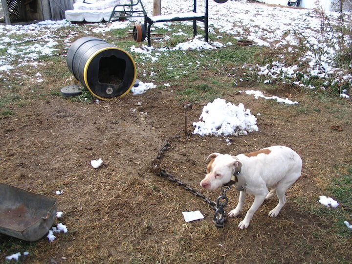 dog chained to a stake by a huge chain - snow on the ground around him
