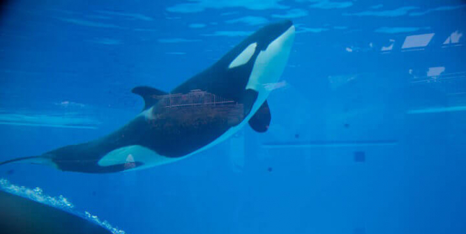 Orcas Need a Sanctuary, and SeaWorld Needs a Dictionary