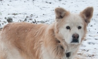 Cold chained dog in the snow during straw delivery in January 2013.