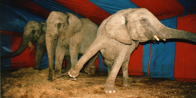 Chained circus elephants inside tent