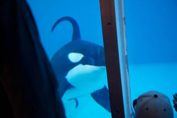 Orca with bent dorsal fin in tank at SeaWorld San Diego, 2011.