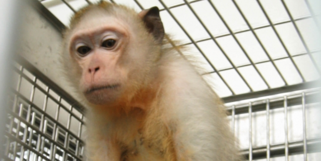 sick, sad-looking monkey sitting in a cage