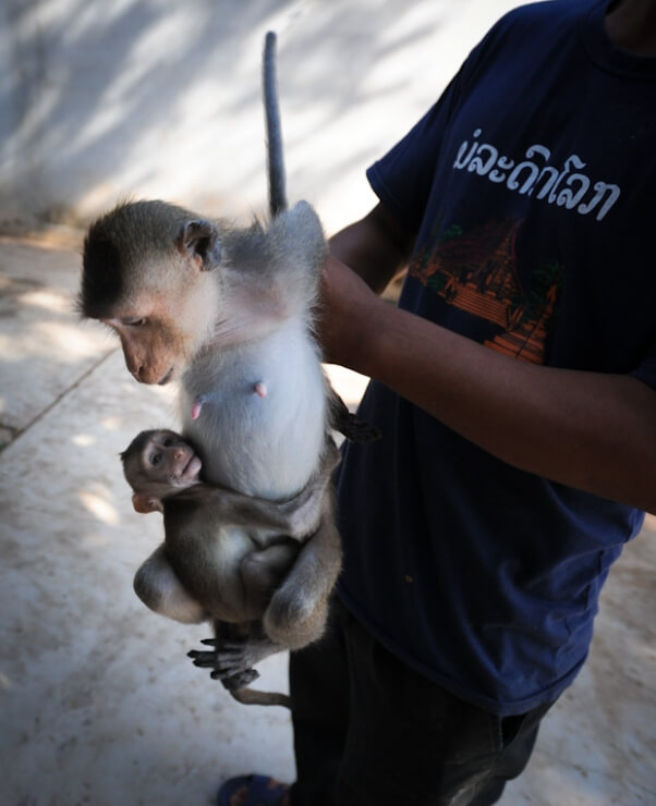 baby monkey being taken away from mother