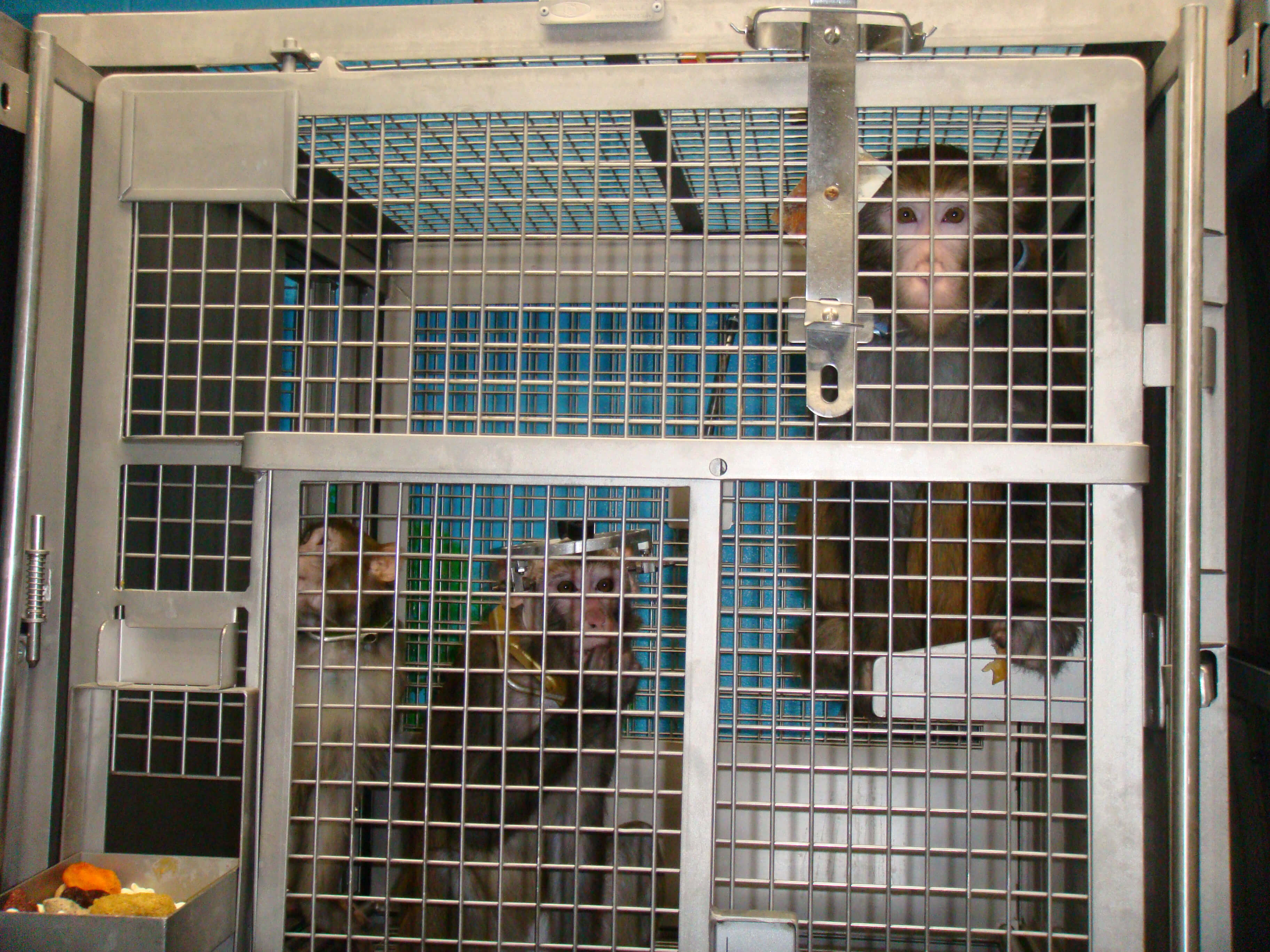 Monkeys Trapped in Laboratory