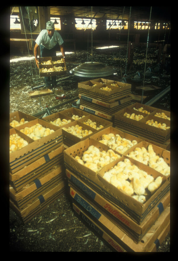 http://www.peta.org/wp-content/uploads/2014/04/Egg-Farm-Chicks1.jpg