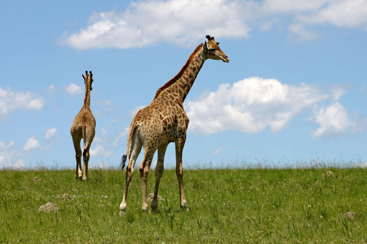 zoo that previously shot baby giraffe now has a new one peta