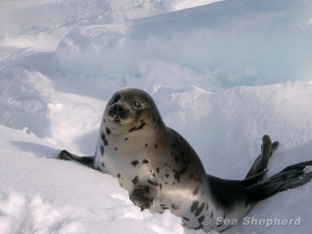 Baby Harp Seal On the Ice