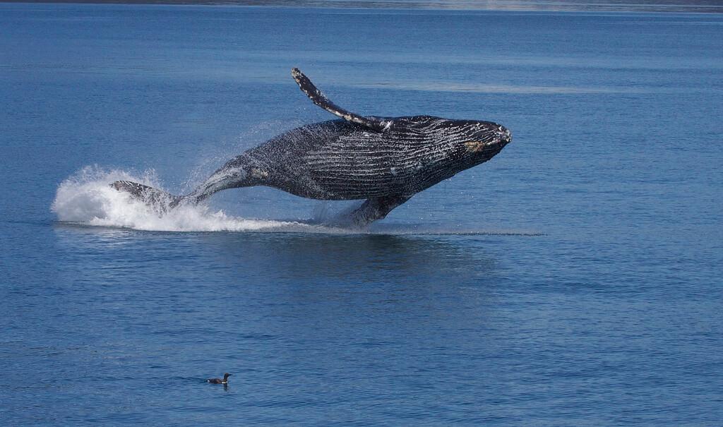 Breaching Humpack Whale