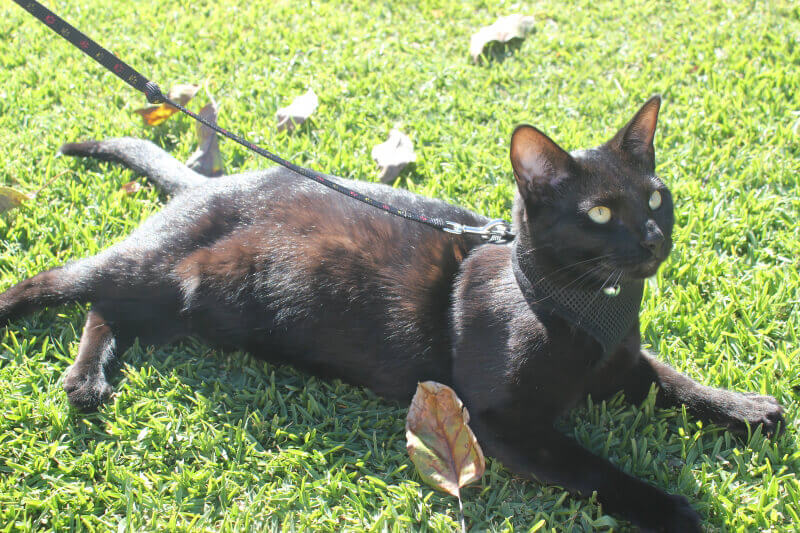 5 tips on leash training your cat peta. Black Bedroom Furniture Sets. Home Design Ideas