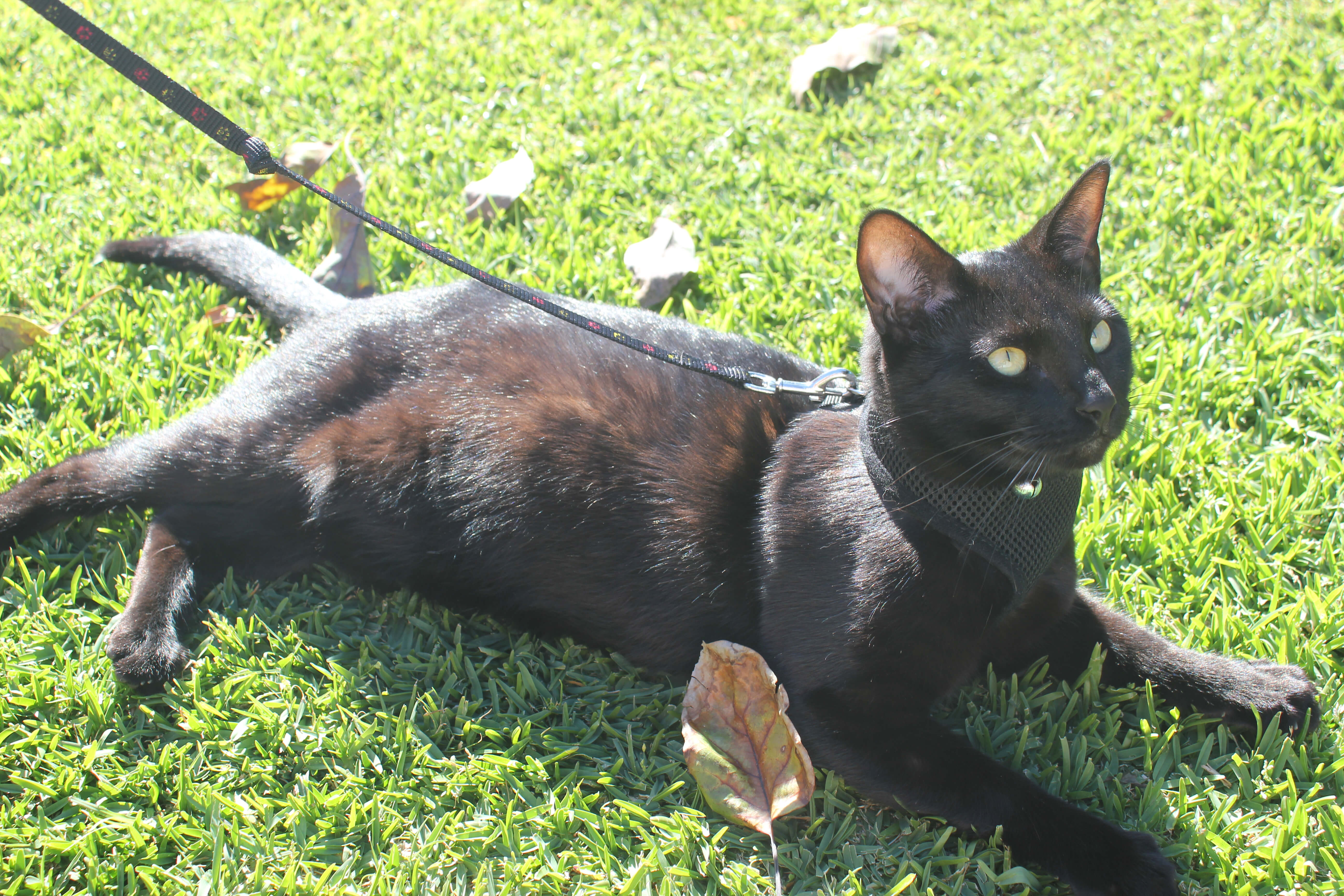 tailless cat rescue