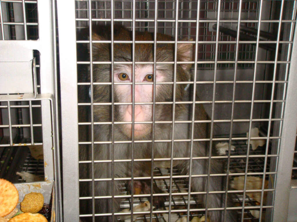 Monkey Trapped in Laboratory