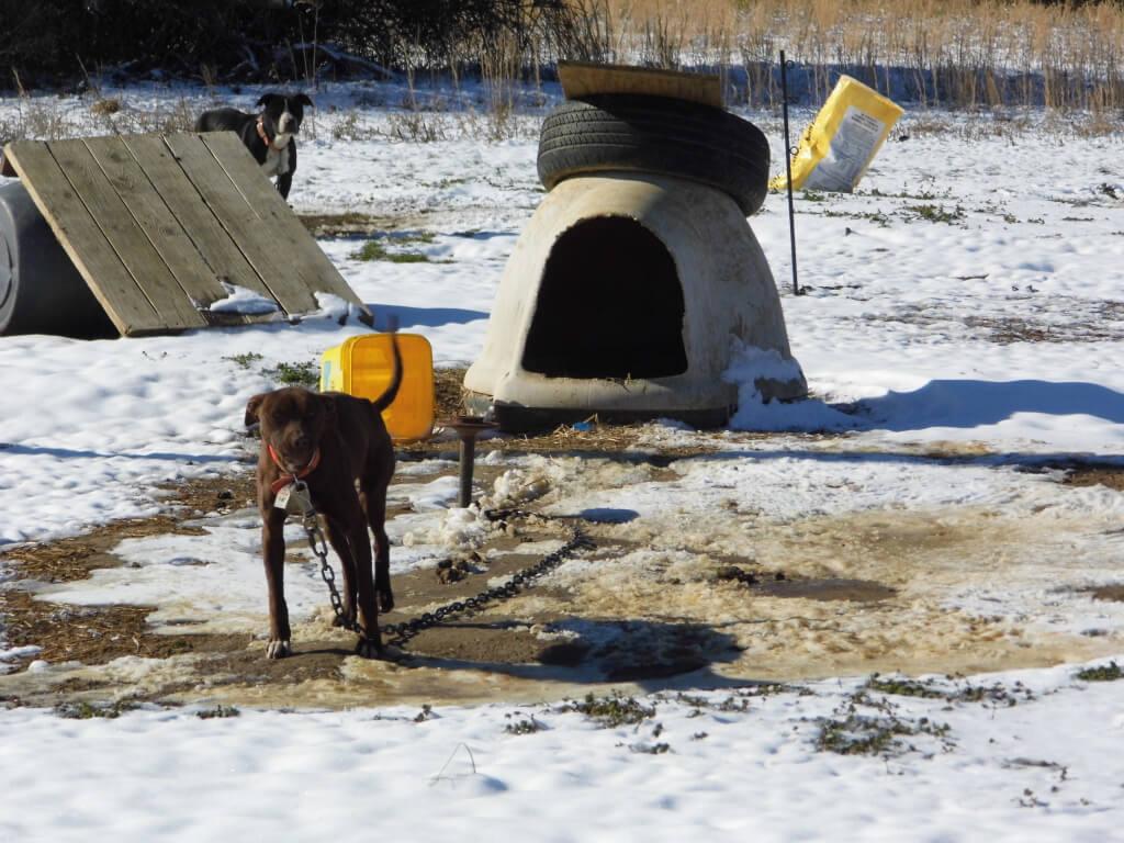 Sad Chained Dog in Weldon, NC