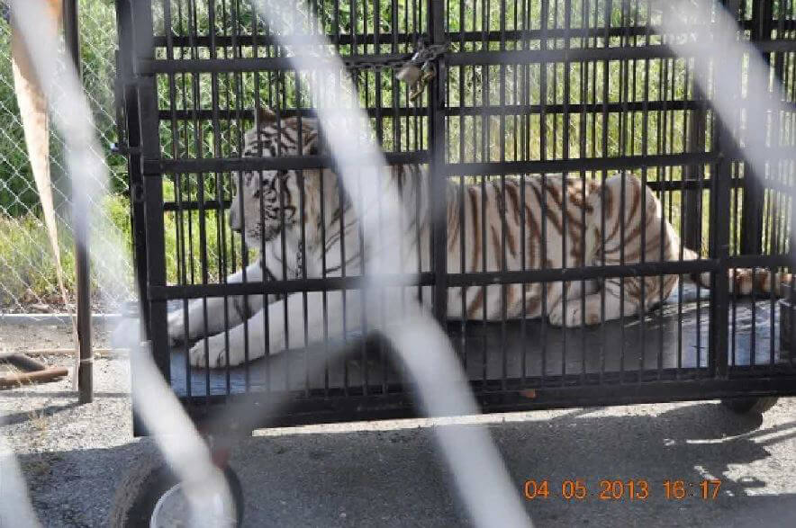 Universoul Caged White Tiger