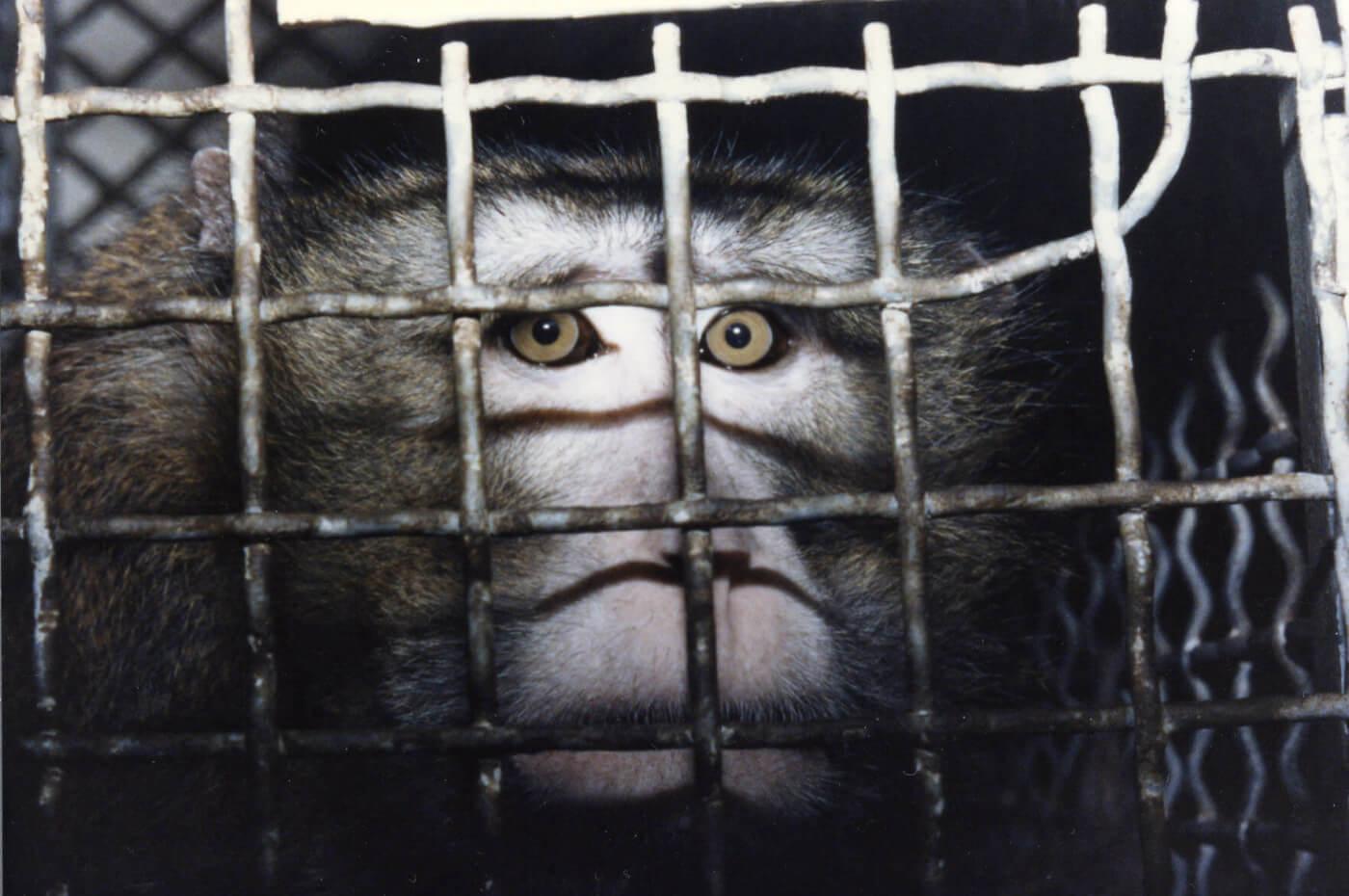 caged monkey at laboratory