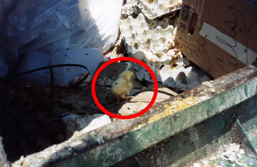 21 Things the Egg Industry Doesn't Want You to See | PETA