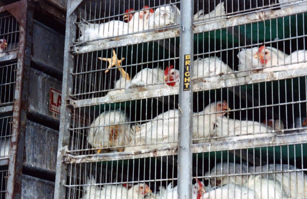 Chickens in Transport