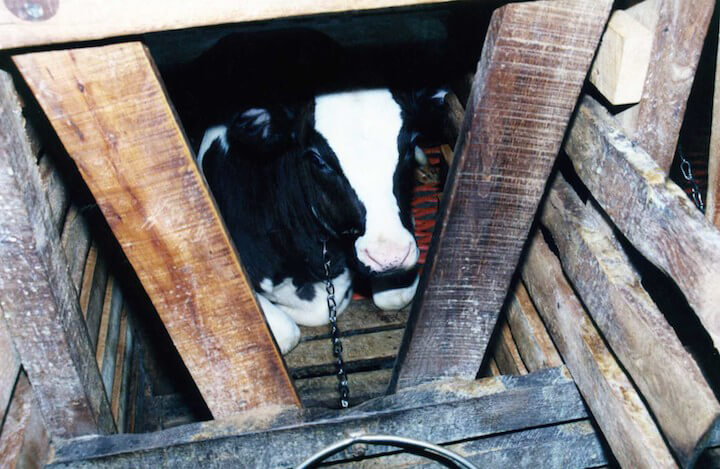 Cow chained up for veal