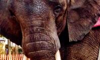 Ailing Captive Elephant Nosey Reportedly Snaps, Bites Handler