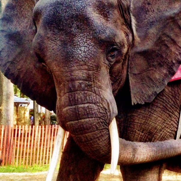Nosey the Elephant