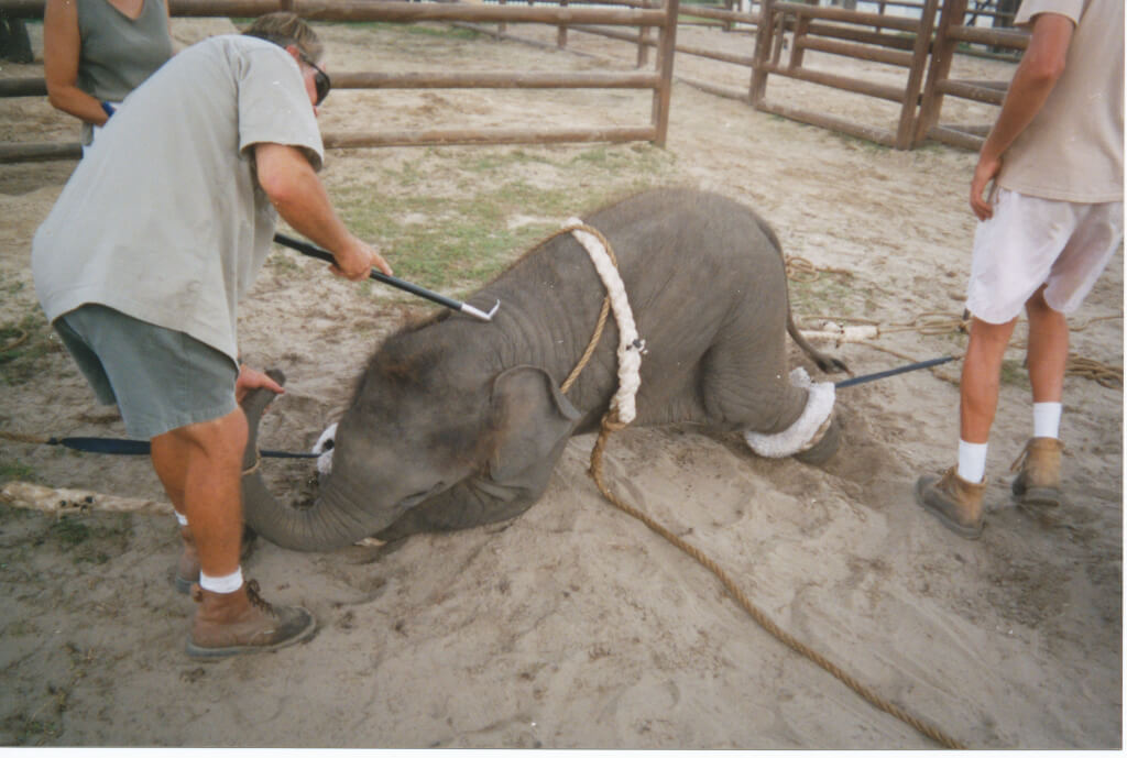 Baby elephant tied by all fours, kneeling on front legs, man holding a bullhook to his/her back