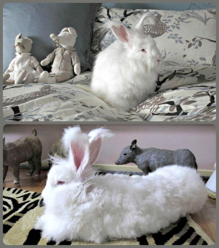 Angora Rabbit Rescued