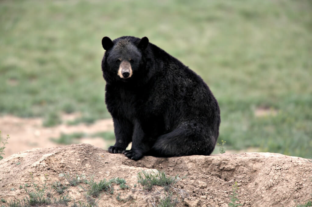 Boureaux the Bear (1)