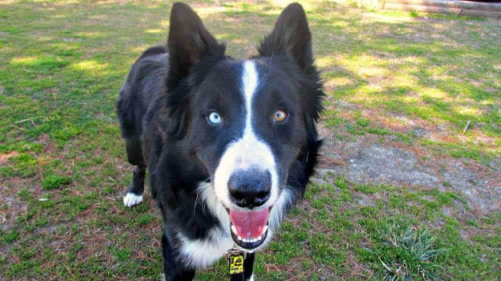 Argumentative Essay to do with Responsible dog breeding?