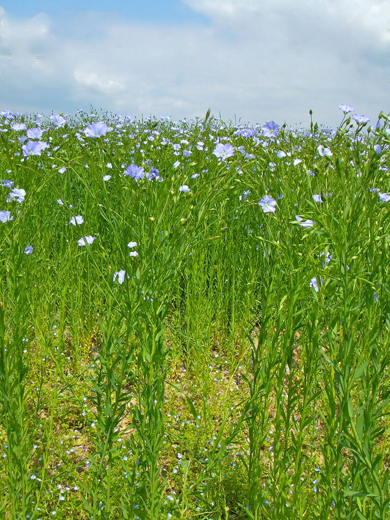 Flax plants in June