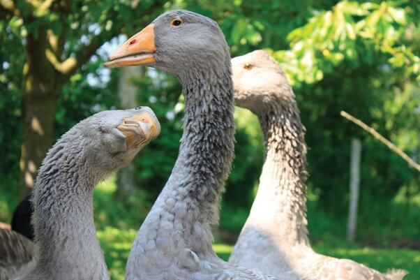 Happy rescued geese