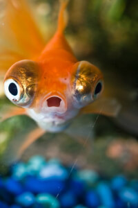 Surprise!!! (Goldfish)