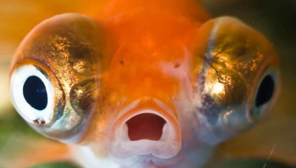 Urge City in Ohio to Cancel Cruel 'Goldfish Swim'!
