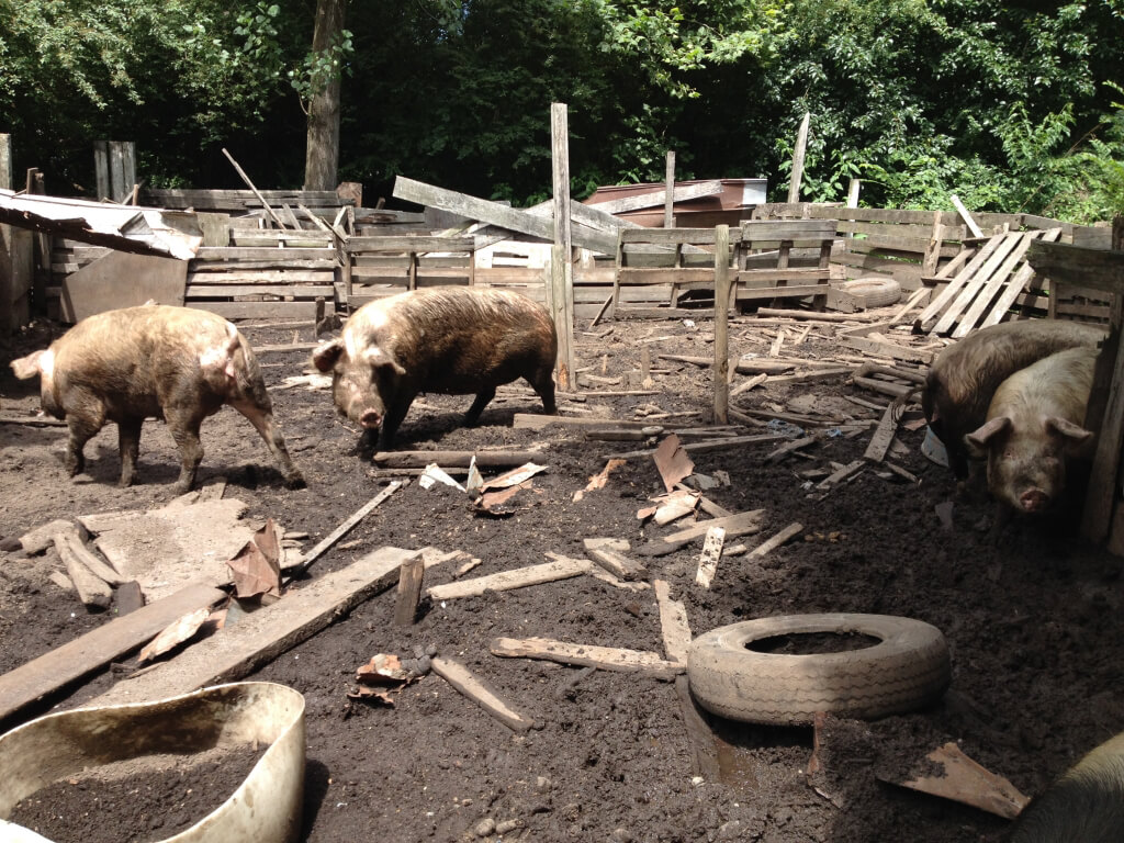 Pigs in Filthy Pen